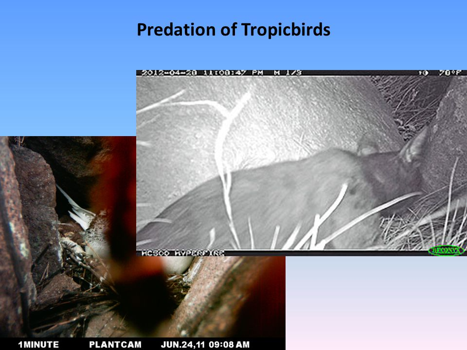 Methodology Record timing of egg laying Individually marked nests and adult birds Status of nests regularly followed Chick growth and development recorded Fieldwork supported by 24-hour infra-red cameras Preliminary predator control (rat traps)