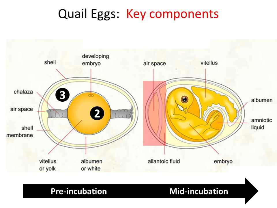 Quail Eggs: Key components 2 3 Pre-incubation Mid-incubation