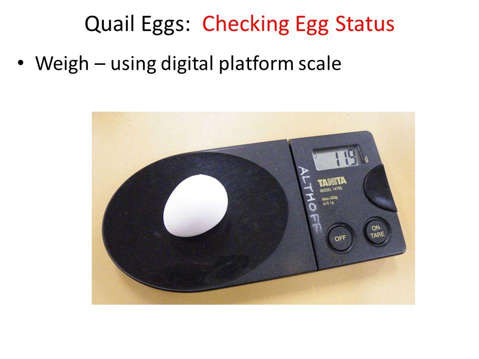 Quail Eggs: Checking Egg Status Weigh – using digital platform scale