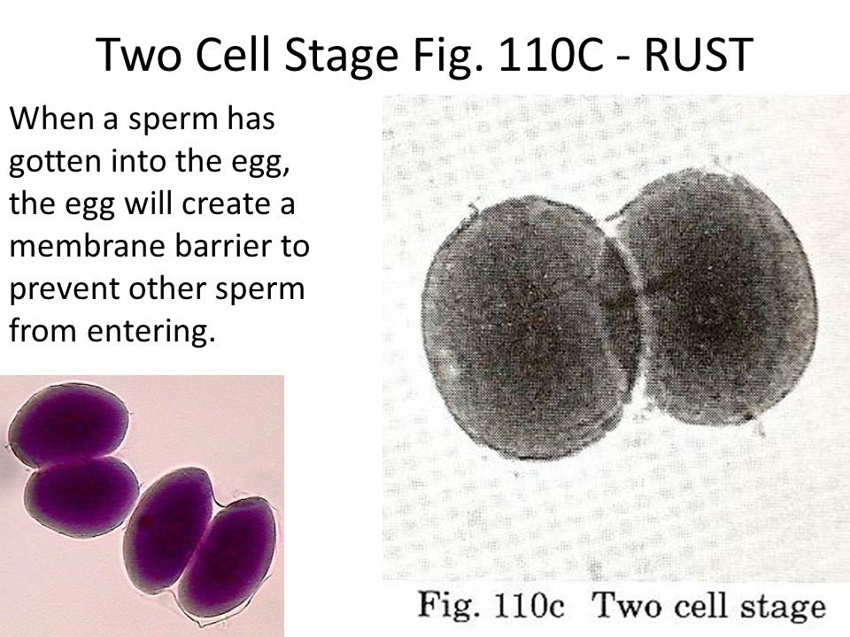 Two Cell Stage Fig. 110C - RUST When a sperm has gotten into the egg, the egg will create a membrane barrier to prevent other sperm from entering.