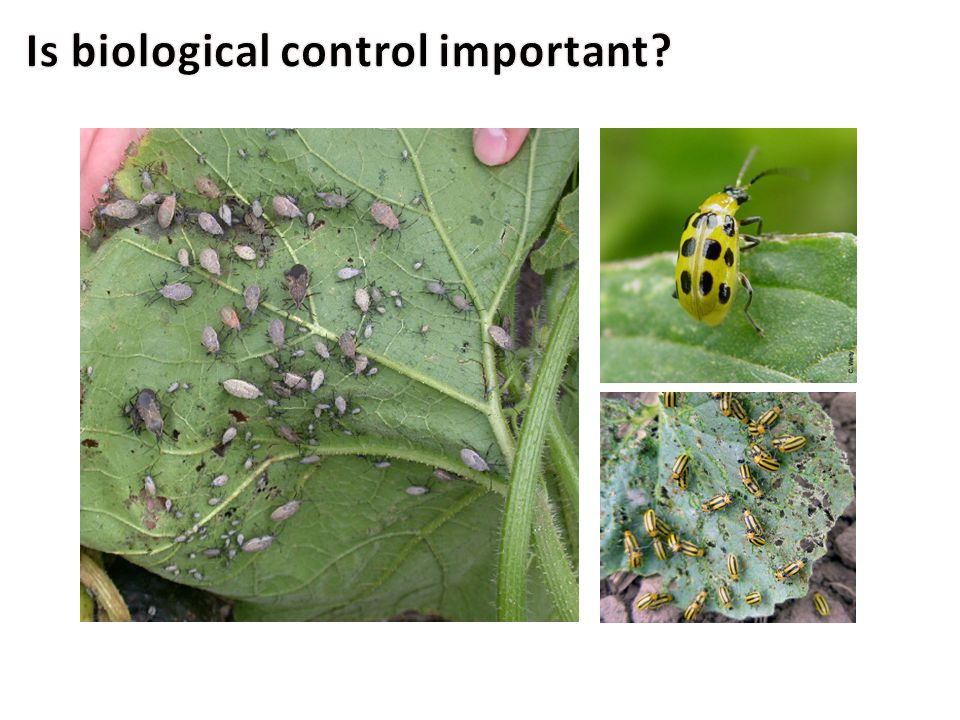 Pests Squash Bug Spotted Cucumber Beetle Striped Cucumber Beetle Predators Stink Bugs Ground Beetles Ants Lady Beetles Biological control can target any stage of a pest.
