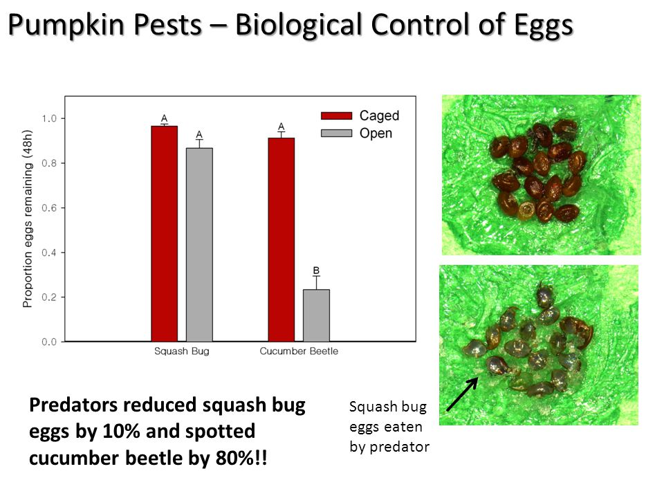 Predators reduced squash bug eggs by 10% and spotted cucumber beetle by 80%!.