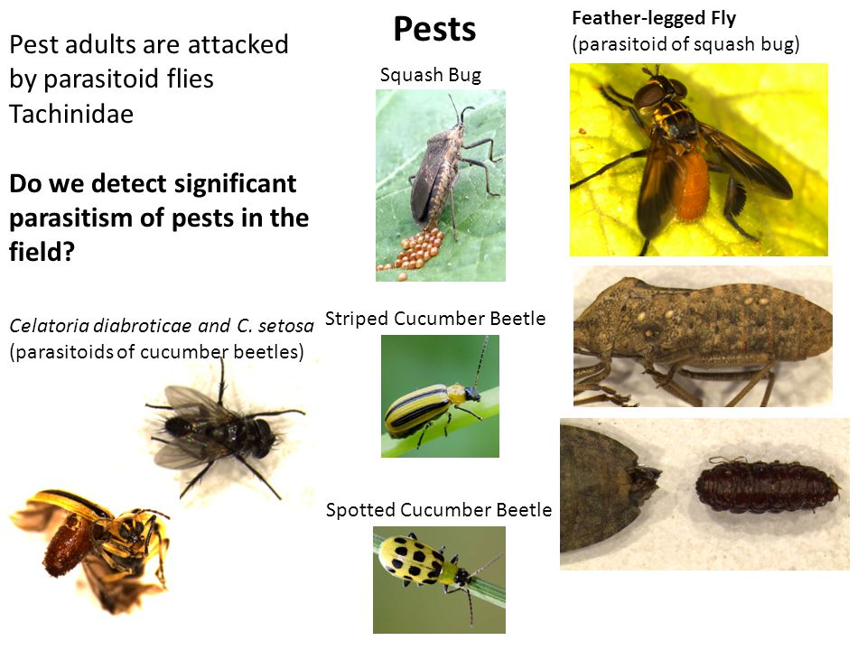 Assessment of adult parasitism 2 collections of striped cucumber beetle and squash bug from each site, July – August Raised for 8 days, then frozen & dissected Pumpkin Pests – Biological Control of Adults Celatoria sp larval mouthparts