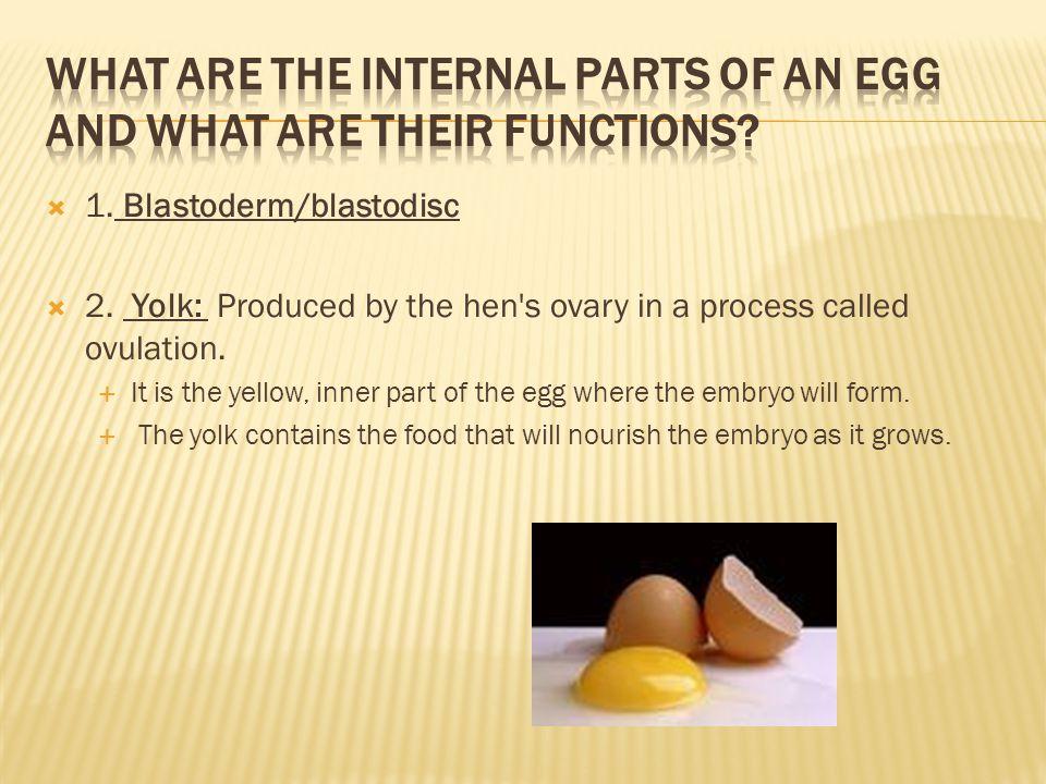 3.Vitelline (yolk) membrane - the membrane that surrounds the yolk.