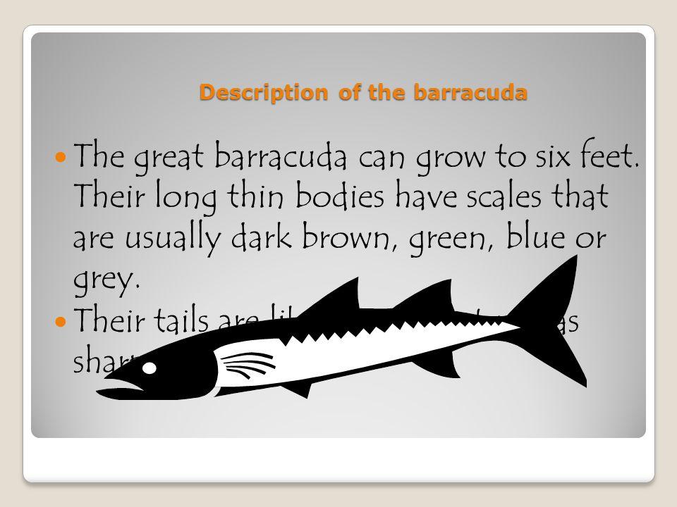 Barracuda Called tiger of the sea By : Sara Roberts