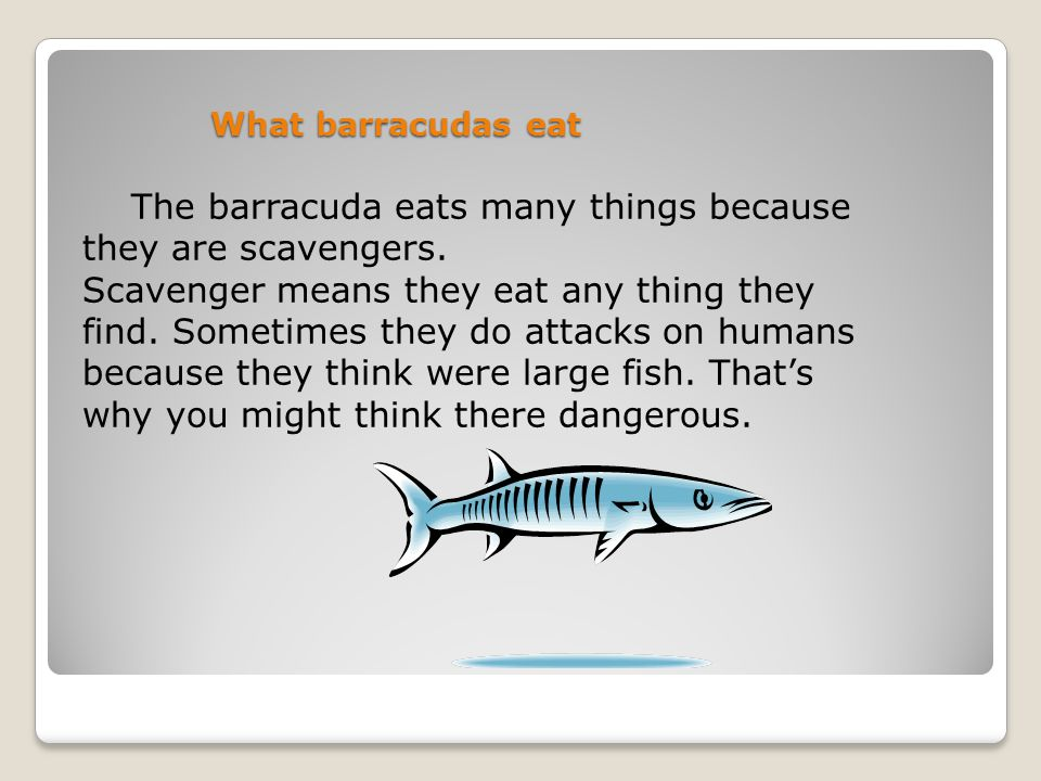 What barracudas eat The barracuda eats many things because they are scavengers.