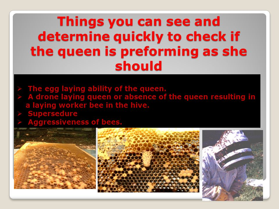 Things you can see and determine quickly to check if the queen is preforming as she should The egg laying ability of the queen. A drone laying queen o