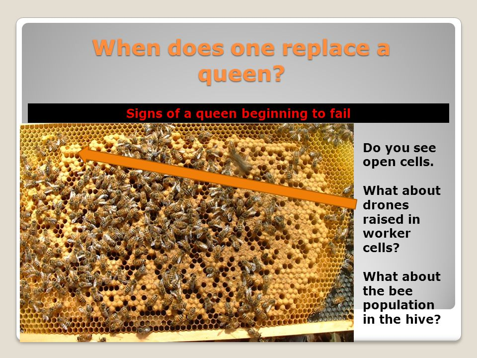 When does one replace a queen? Signs of a queen beginning to fail Do you see open cells. What about drones raised in worker cells? What about the bee
