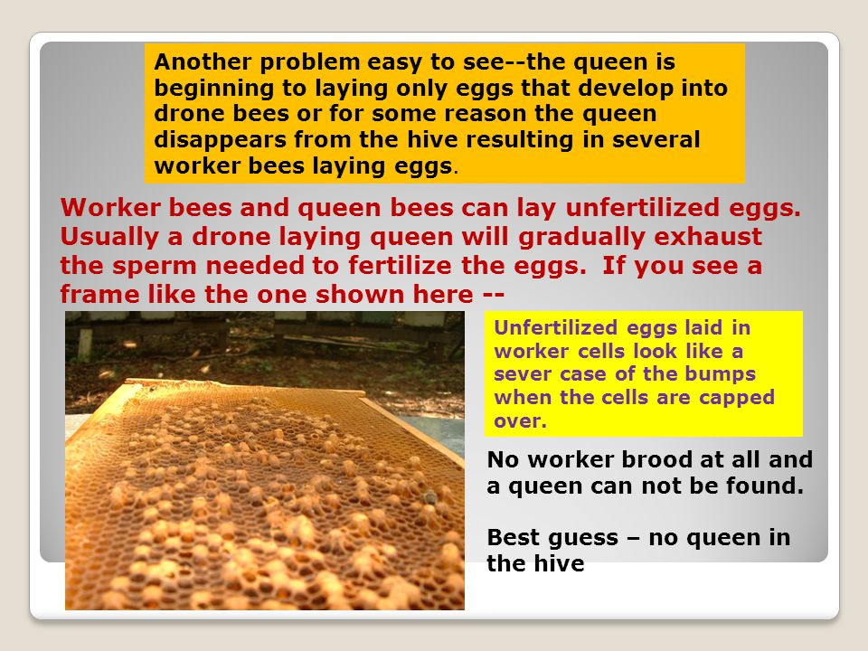 Another problem easy to see--the queen is beginning to laying only eggs that develop into drone bees or for some reason the queen disappears from the