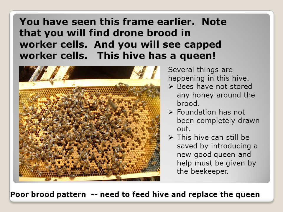 You have seen this frame earlier. Note that you will find drone brood in worker cells. And you will see capped worker cells. This hive has a queen! Po