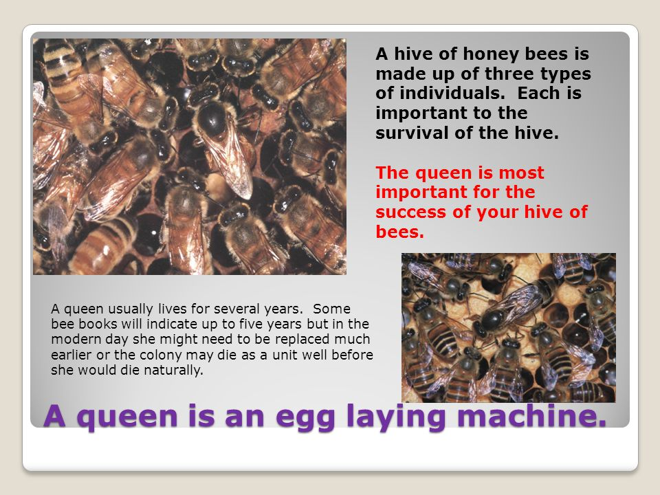A queen is an egg laying machine. A hive of honey bees is made up of three types of individuals. Each is important to the survival of the hive. The qu