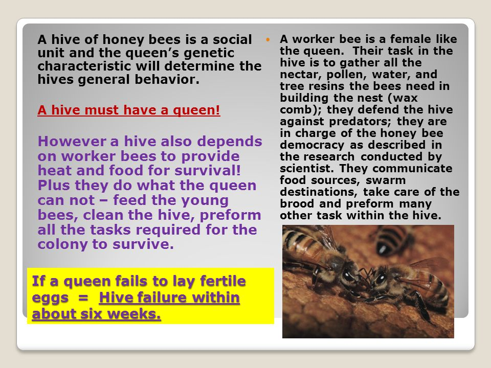 If a queen fails to lay fertile eggs = Hive failure within about six weeks. A hive of honey bees is a social unit and the queens genetic characteristi