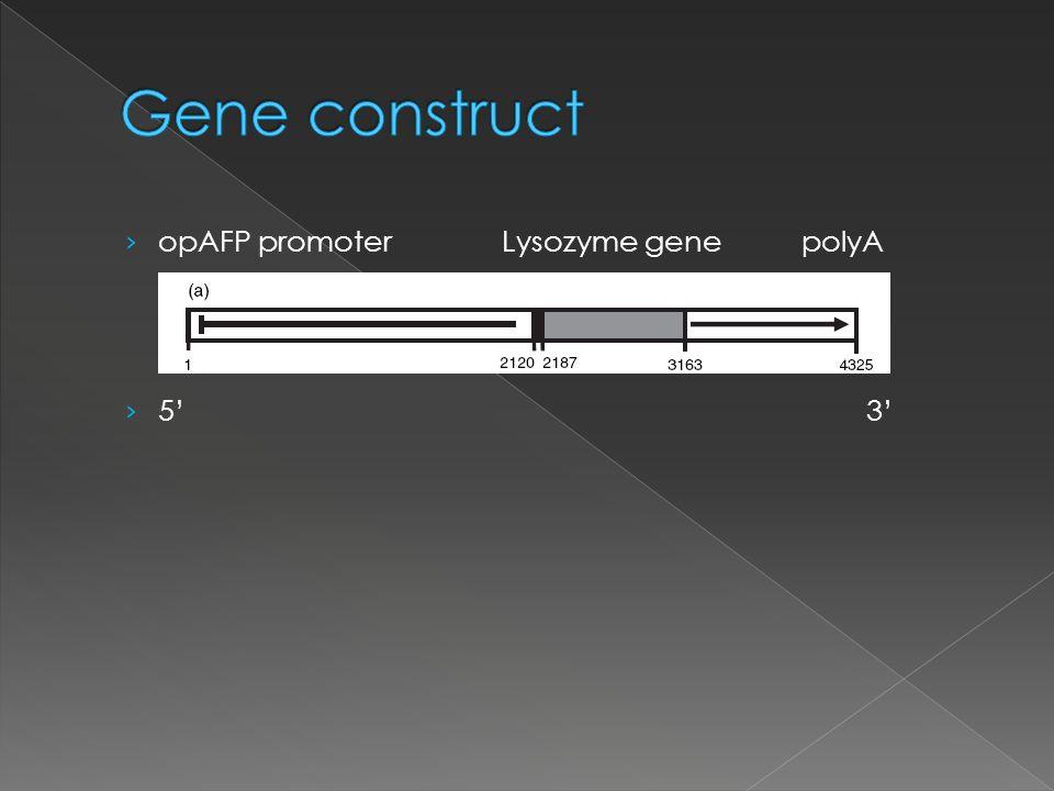opAFP promoter Lysozyme genepolyA 5 3