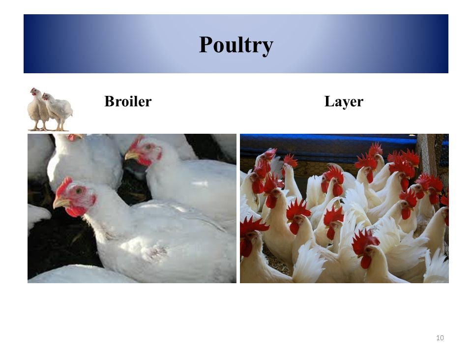 Poultry BroilerLayer 10