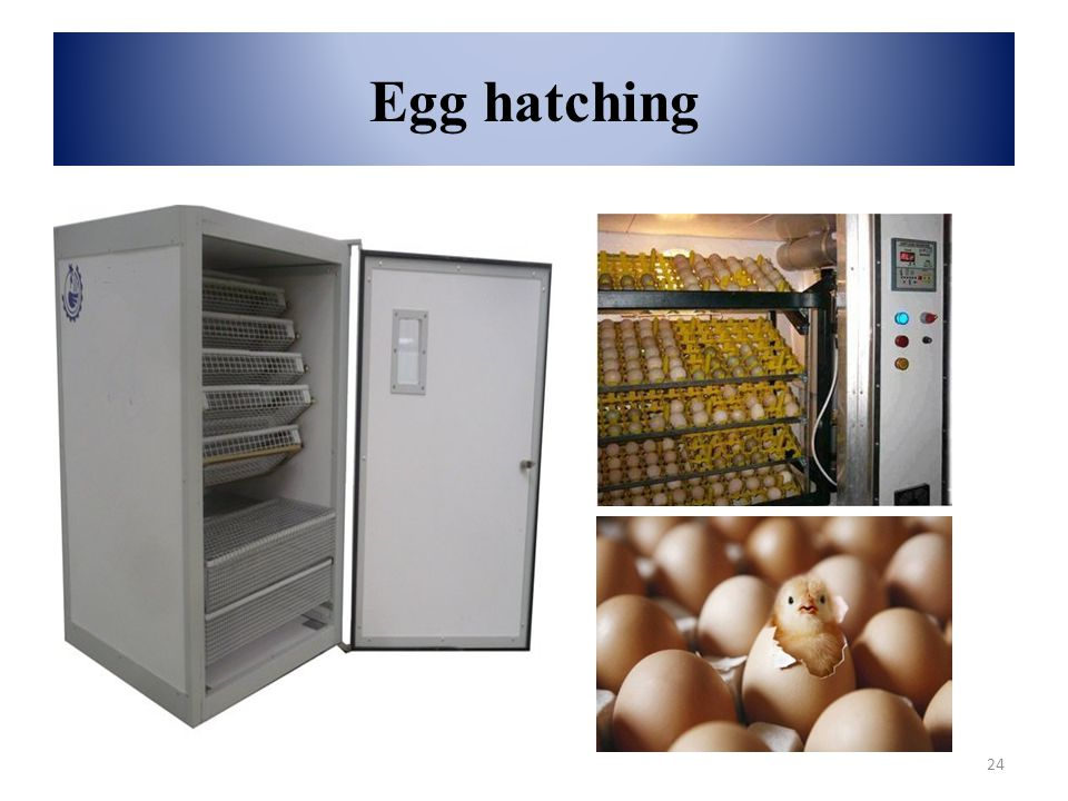 Egg hatching 24