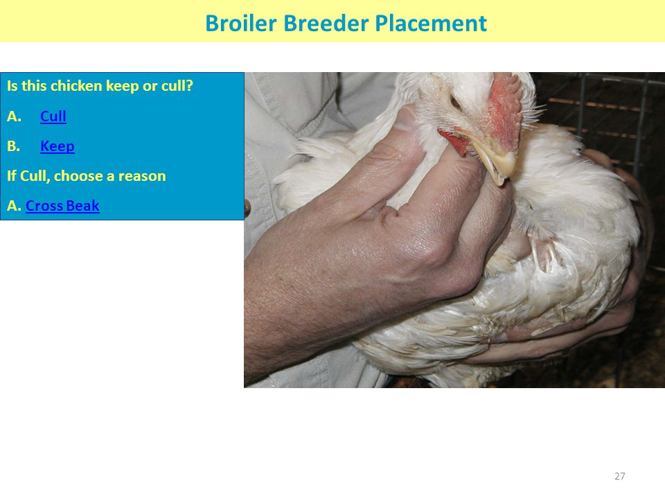 Broiler Breeder Placement Is this chicken keep or cull? A.CullCull B.KeepKeep If Cull, choose a reason A. Cross BeakCross Beak 27