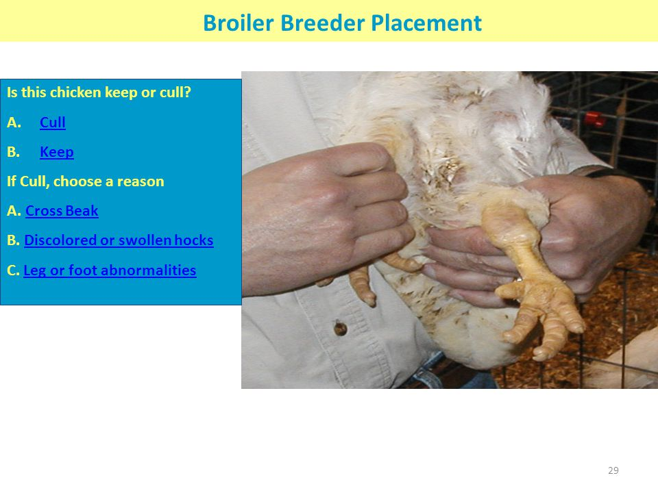 Broiler Breeder Placement Is this chicken keep or cull? A.CullCull B.KeepKeep If Cull, choose a reason A. Cross BeakCross Beak B. Discolored or swolle