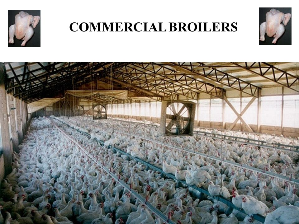 COMMERCIAL BROILERS 32