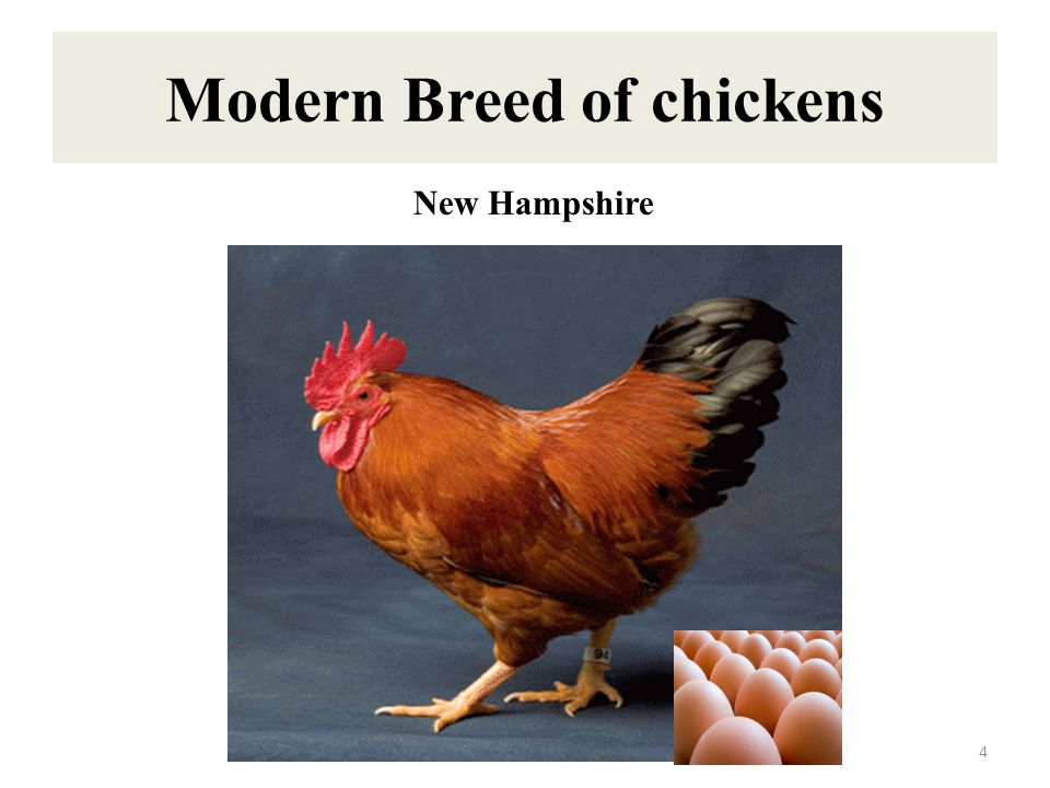 Modern Breed of chickens 4 New Hampshire