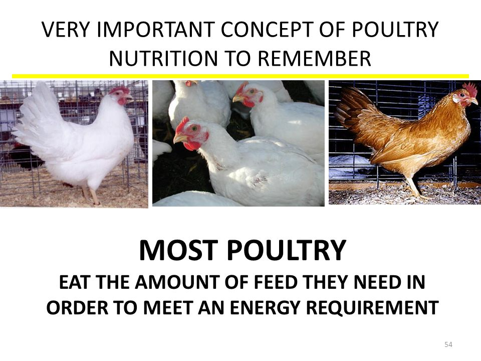 VERY IMPORTANT CONCEPT OF POULTRY NUTRITION TO REMEMBER MOST POULTRY EAT THE AMOUNT OF FEED THEY NEED IN ORDER TO MEET AN ENERGY REQUIREMENT 54