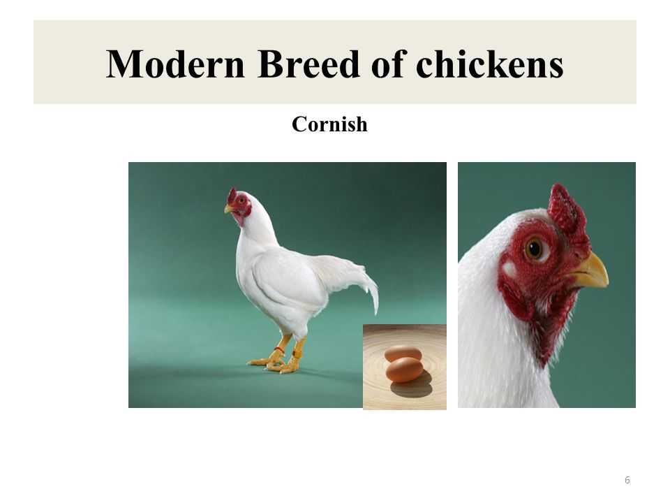 Modern Breed of chickens 7 Barred Plymouth Rock