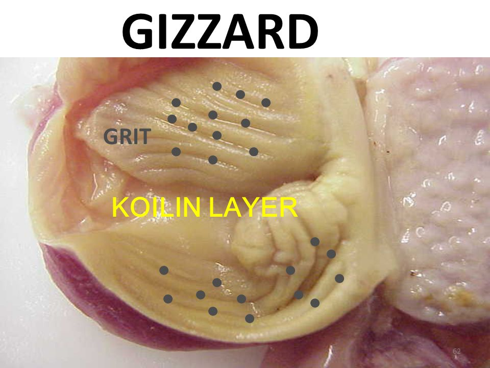 KOILIN LAYER GIZZARD GRIT 62