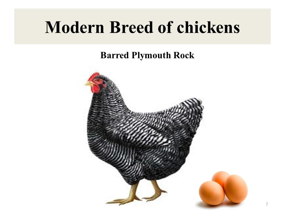 Modern Breed of chickens 8 Light Sussex