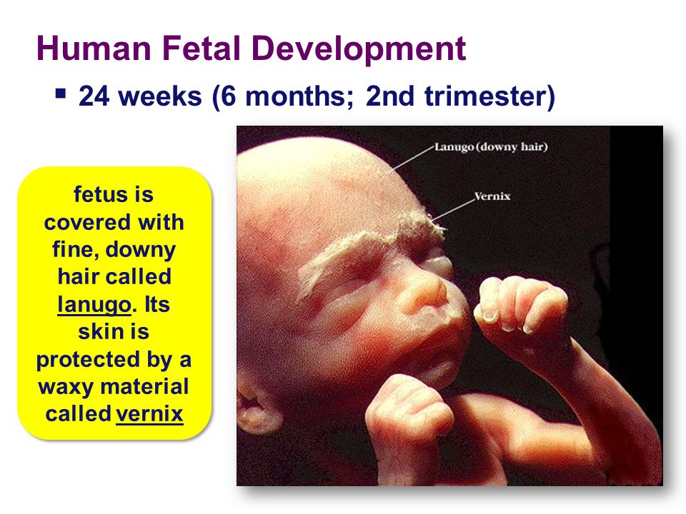 Human Fetal Development The fetus just spends much of the 2 nd & 3 rd trimesters just growing …and doing various flip-turns & kicks inside amniotic fl