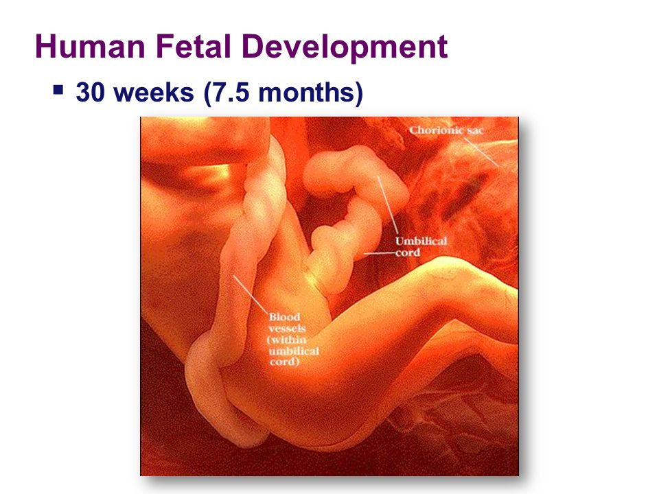 Human Fetal Development 24 weeks (6 months; 2nd trimester) fetus is covered with fine, downy hair called lanugo. Its skin is protected by a waxy mater