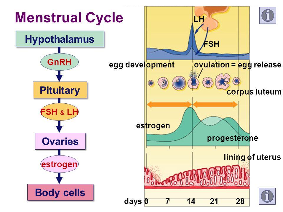 LH FSH estrogen progesterone lining of uterus egg developmentovulation = egg release corpus luteum 07142128days Menstrual Cycle Hypothalamus Pituitary Ovaries Body cells GnRH FSH & LH estrogen
