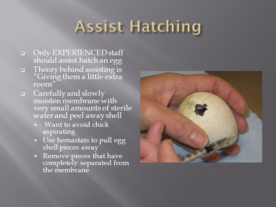 Only EXPERIENCED staff should assist hatch an egg Theory behind assisting is Giving them a little extra room Carefully and slowly moisten membrane with very small amounts of sterile water and peel away shell Want to avoid chick aspirating Use hemastats to pull egg shell pieces away Remove pieces that have completely separated from the membrane