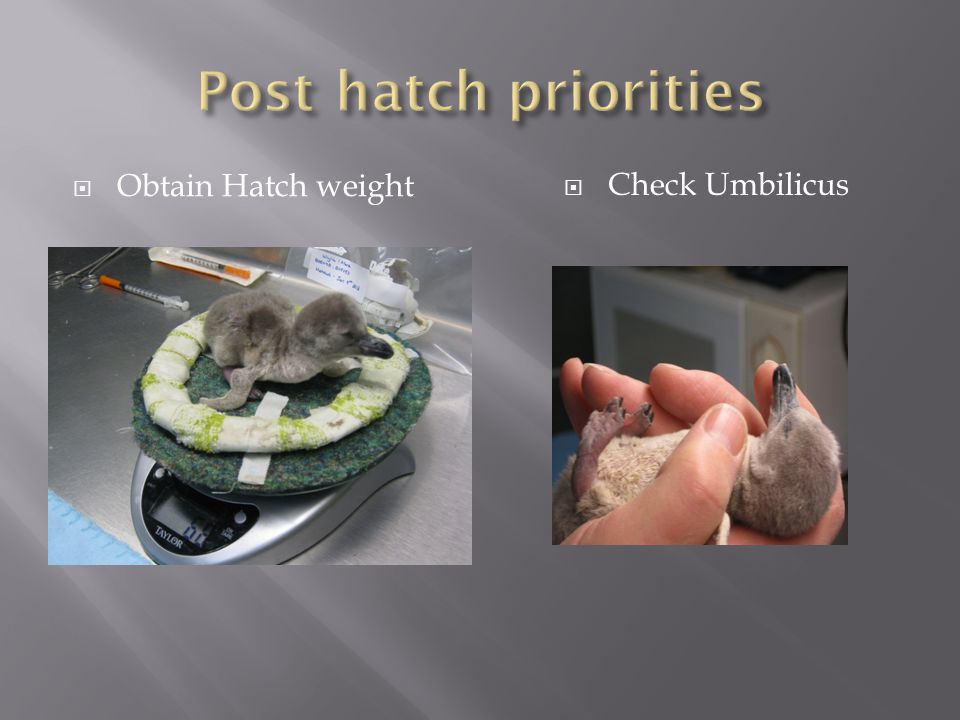 Obtain Hatch weight Check Umbilicus