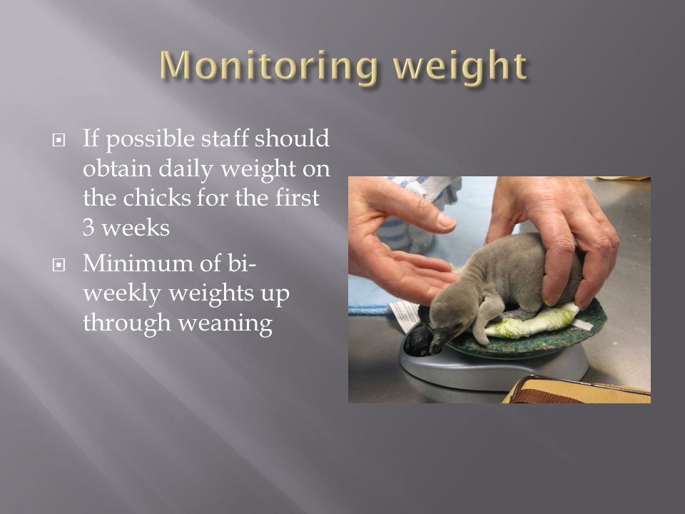If possible staff should obtain daily weight on the chicks for the first 3 weeks Minimum of bi- weekly weights up through weaning