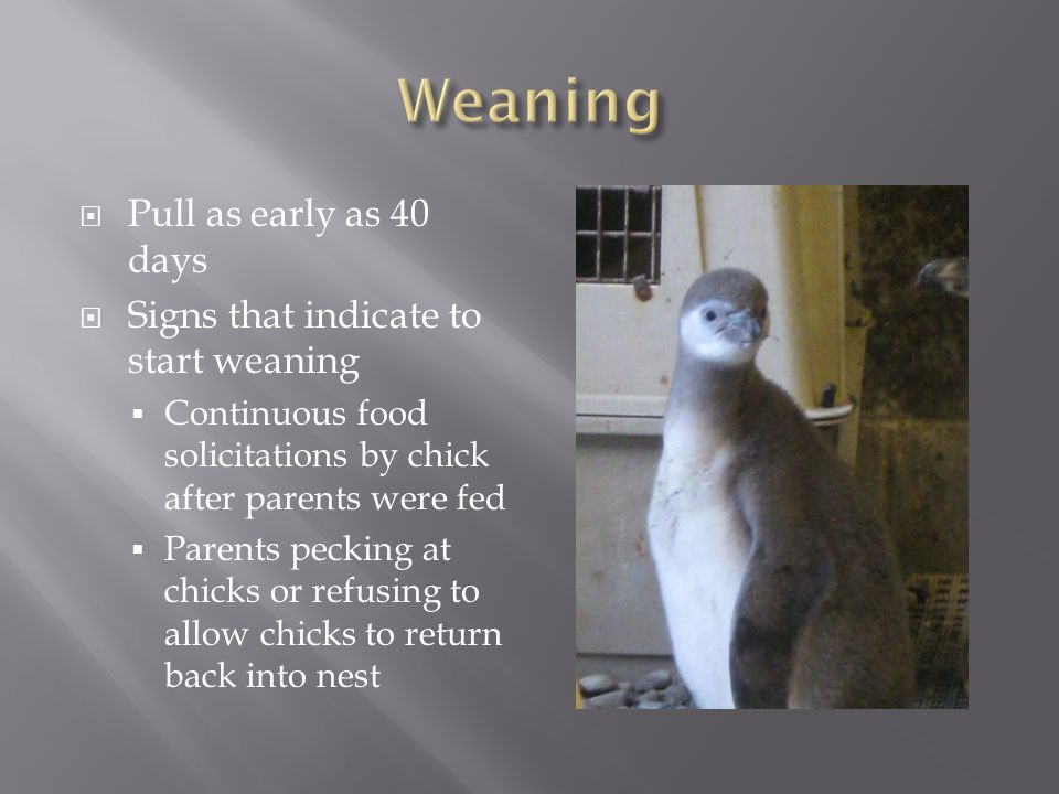 Pull as early as 40 days Signs that indicate to start weaning Continuous food solicitations by chick after parents were fed Parents pecking at chicks or refusing to allow chicks to return back into nest