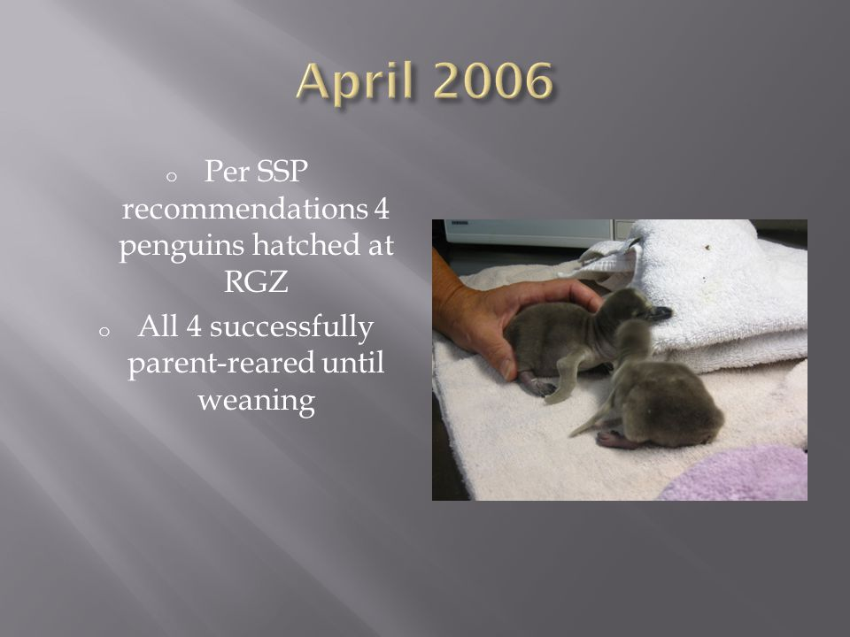 o Per SSP recommendations RGZ has hatched 35 Humboldt penguin chicks o All 35 chicks were parent or foster reared