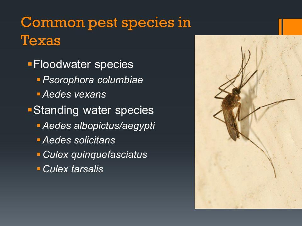 Common pest species in Texas Floodwater species Psorophora columbiae Aedes vexans Standing water species Aedes albopictus/aegypti Aedes solicitans Cul