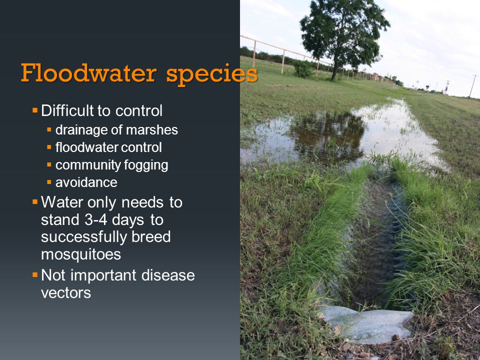 Floodwater species Difficult to control drainage of marshes floodwater control community fogging avoidance Water only needs to stand 3-4 days to succe