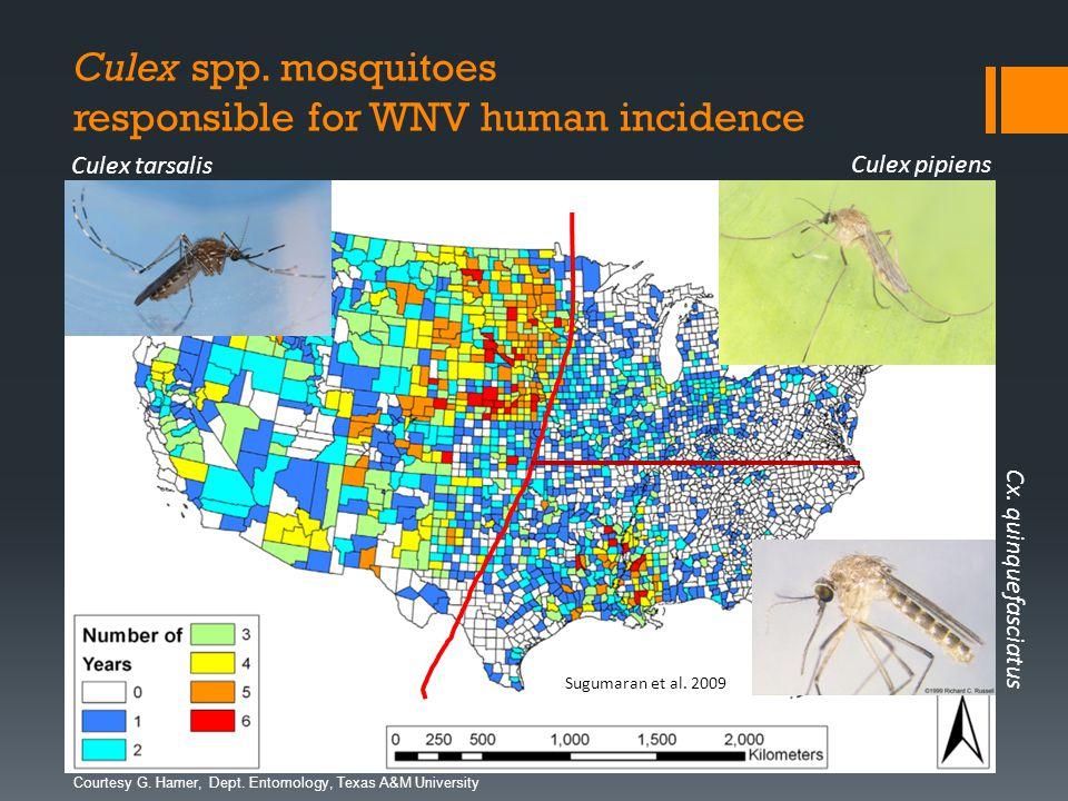 Dept. Entomology, Texas A&M University Culex spp. mosquitoes responsible for WNV human incidence Sugumaran et al. 2009 Culex pipiens Culex tarsalis Cx