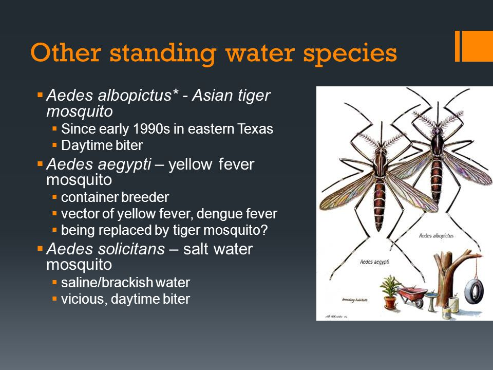 Other standing water species Aedes albopictus* - Asian tiger mosquito Since early 1990s in eastern Texas Daytime biter Aedes aegypti – yellow fever mo