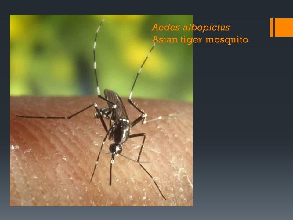 Aedes albopictus Asian tiger mosquito