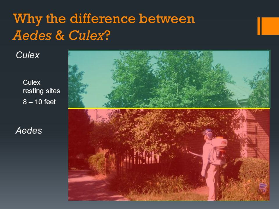 Why the difference between Aedes & Culex? Culex resting sites 8 – 10 feet Aedes Culex