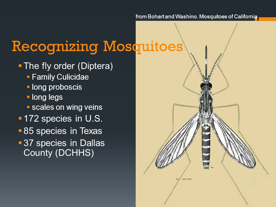 Recognizing Mosquitoes The fly order (Diptera) Family Culicidae long proboscis long legs scales on wing veins 172 species in U.S. 85 species in Texas