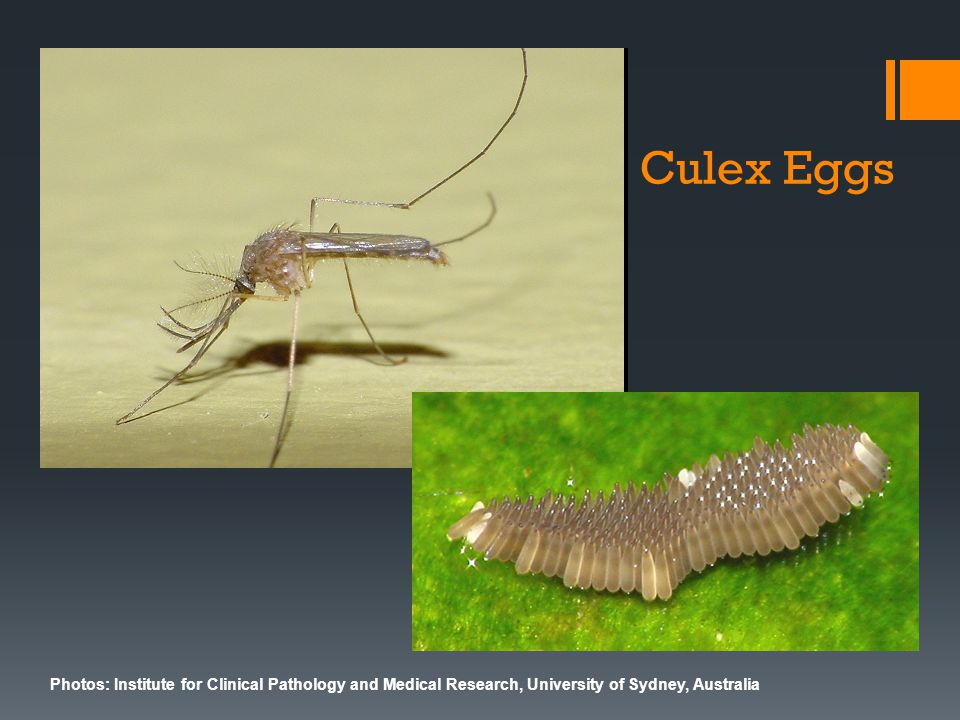 Photos: Institute for Clinical Pathology and Medical Research, University of Sydney, Australia Culex Eggs