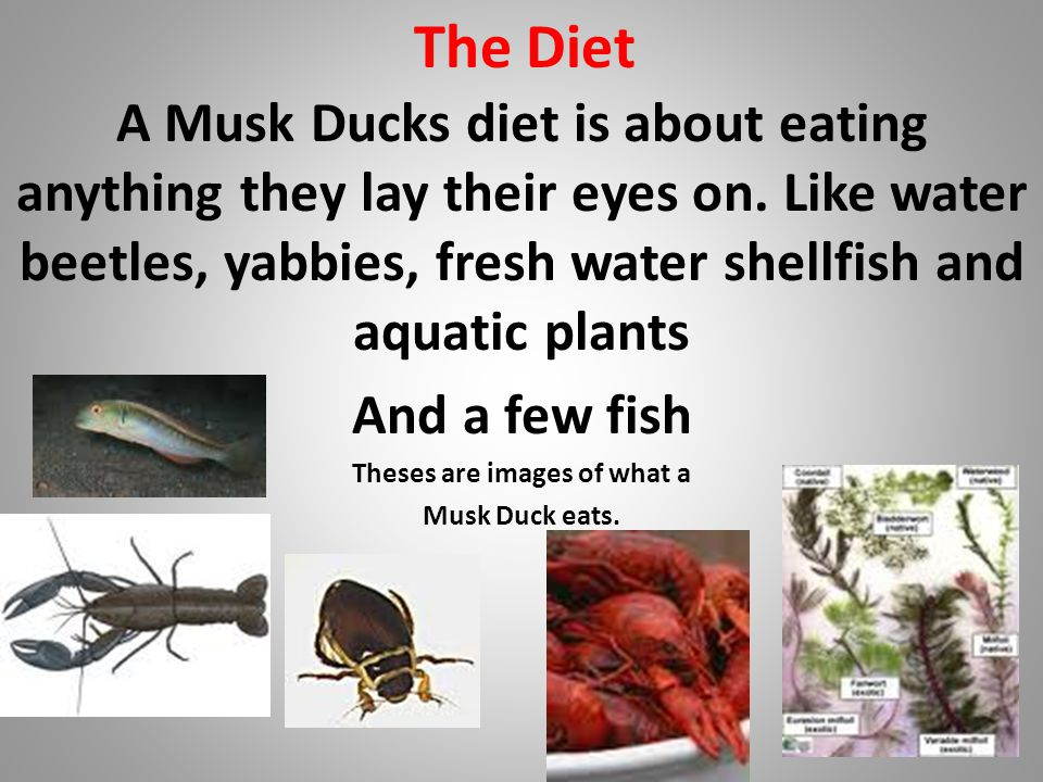 The Diet A Musk Ducks diet is about eating anything they lay their eyes on.