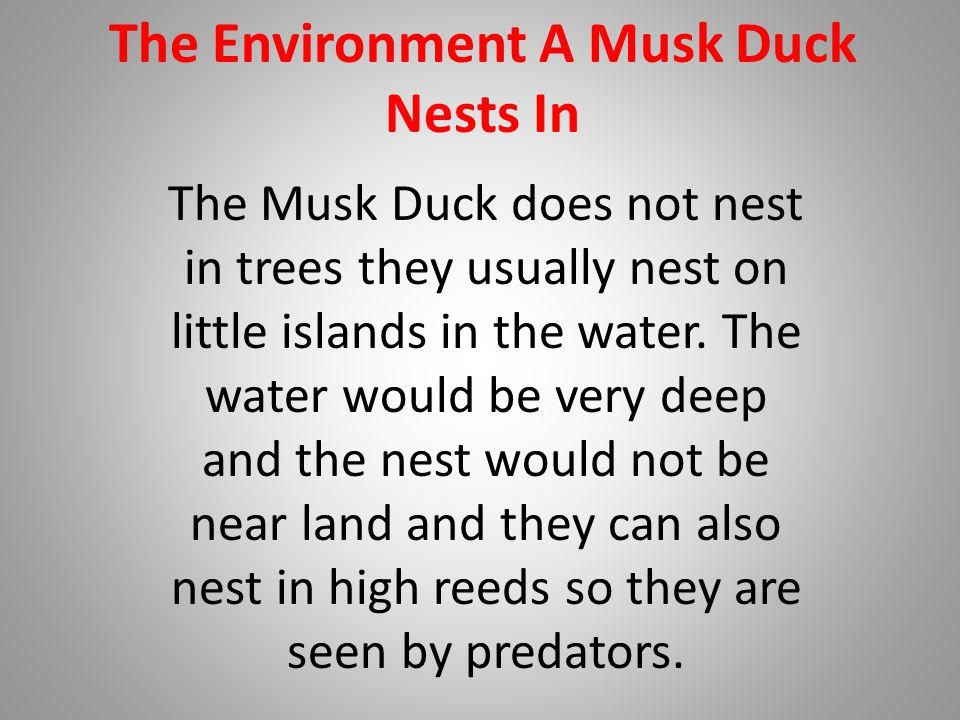 The Environment A Musk Duck Nests In The Musk Duck does not nest in trees they usually nest on little islands in the water.