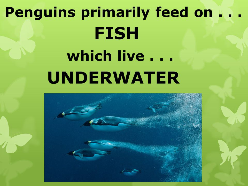 Penguins primarily feed on... FISH which live... UNDERWATER