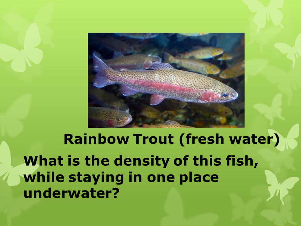 Rainbow Trout (fresh water) What is the density of this fish, while staying in one place underwater?