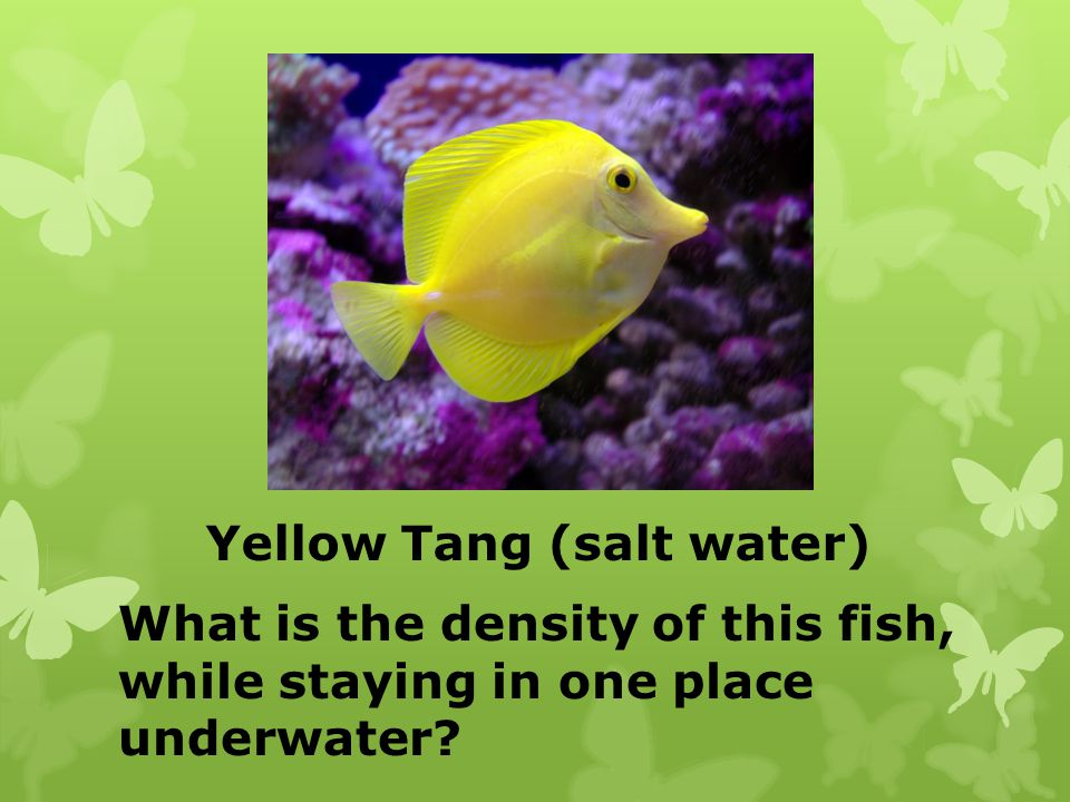Yellow Tang (salt water) What is the density of this fish, while staying in one place underwater?