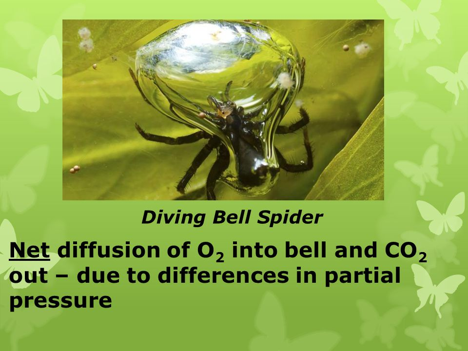 Diving Bell Spider Net diffusion of O 2 into bell and CO 2 out – due to differences in partial pressure