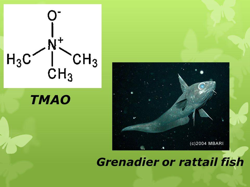 Grenadier or rattail fish TMAO